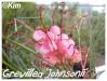 grevillea 'johnsonii'