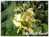hedychium flavum