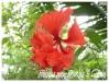 hibiscus rosa-sinensis ' el capitolo '
