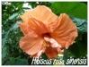 Zones USDA 9 à 12 Hibisc27