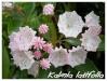 Plantes de terre acide Kalmia10