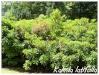 Plantes de terre acide Kalmia11