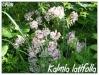 Plantes de terre acide Kalmia15