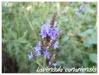 lavendula canariensis