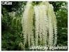 ledenbergia seguierioides