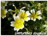 limnanthes douglasii