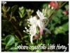 lonicera crassifolia 'little honey'