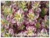 lysimachia punctata 'variegata'