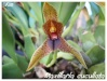 Orchidées et carnivores Maxill10