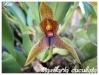 maxillaria cucullata