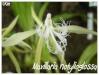 maxillaria notylioglossa