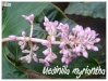medinilla myriantha