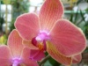 Orchidées et carnivores Orchis19