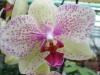 Orchidées et carnivores Orchis23