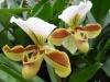 Orchidées et carnivores Paphio10