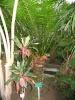 cycas rumphii