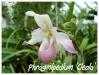 phragmipedium 'cleola'