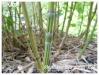 phyllostachys aurea 'koï'