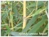 phyllostachys aureosulcata 'aureocaulis'