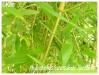 Bambous et graminées Phyllo13