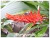 pitcairnia corallina 'corallina'