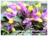 polygala chamaebuxus 'grandiflora kamniski'