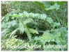 polygonatum hybridum 'weihenstephan'
