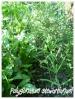 polygonatum stewartianum