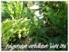 polygonatum verticillatum 'giant one'