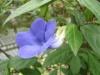Thunbergia affinis