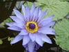 Nymphaea hybride 'Director G.T. Moore'