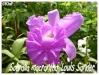sobralia macrantha 'louis sander'