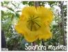 solandra maxima