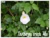 thunbergia erecta 'alba'