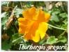 thunbergia gregorii