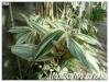 tradescantia zanonia