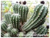 trichoechinopsis imperialis
