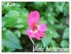 Zones USDA 9 à 12 Viola_10