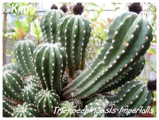 trichoechinopsis imperialis