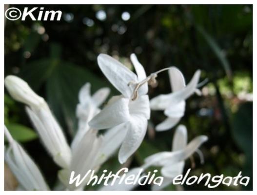 whitfieldia elongata