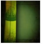 Bambous et graminées 1108-33