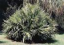 rhapidophyllum