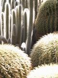 Cactacées, caudiciformes et autres xérophytes 84-35