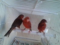 paxarell