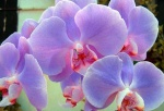Orchideanady