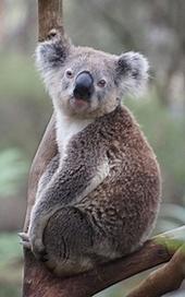 Koala87