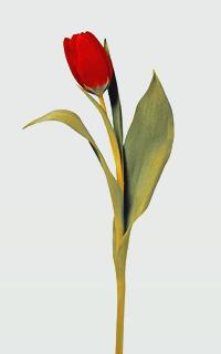 CrimsonTulip