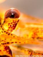 Crevette Taiwan-bee, les évolutions. 1-82