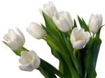 tulipe-blanche1