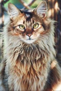 Cougar •